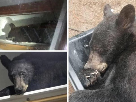 Black bear breaks into home, locks door behind him and goes for a nap