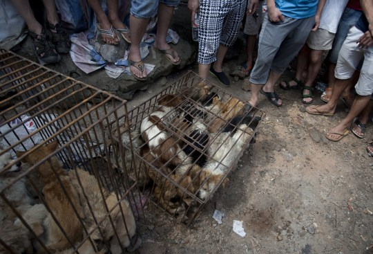 Chinese customers gather around dogs in cages on sale at a market in Yulin, in southern China's Guangxi province on June 21, 2015. The city holds an annual festival devoted to the animal's meat on the summer solstice which has provoked an increasing backlash from animal protection activists. CHINA OUT AFP PHOTO (Photo credit should read STR/AFP/Getty Images)