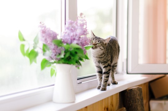 Spring cozy image with a cat and lilac flowers