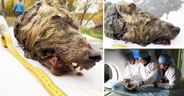 Head of the hound from hell found in permafrost after 40,000 years