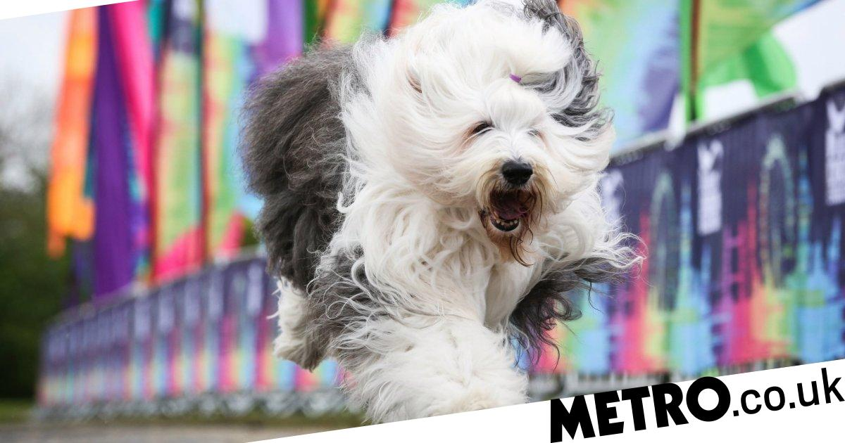 Dulux dogs 'facing extinction' as owners shun them for fashion breeds
