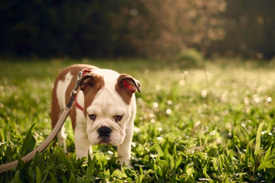 sad-looking bulldog in the park, backlit by sunlight. Soft shalow focus. Three-months old female English Bulldog
