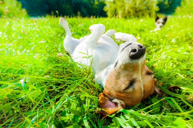 A Jack Russell relaxing in the grass