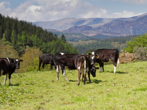 Mum airlifted to hospital after being attacked by cows on country walk