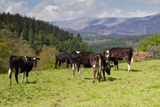 Young cattle in rural Wales with views of Snowdonia mountains.