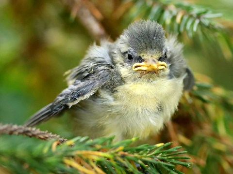 Real life angry bird looks grumpy as it waits to be fed