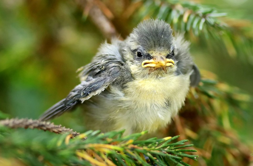 This picture of a grumpy-looking chick calling for its dinner was taken by amateur nature photographer in his back garden. See SWNS story SWBRbird, June 11, 2019. Care worker Andy Monks, 54, from Taunton snapped the blue tit fledgling calling for its parents on Thursday, May 30.