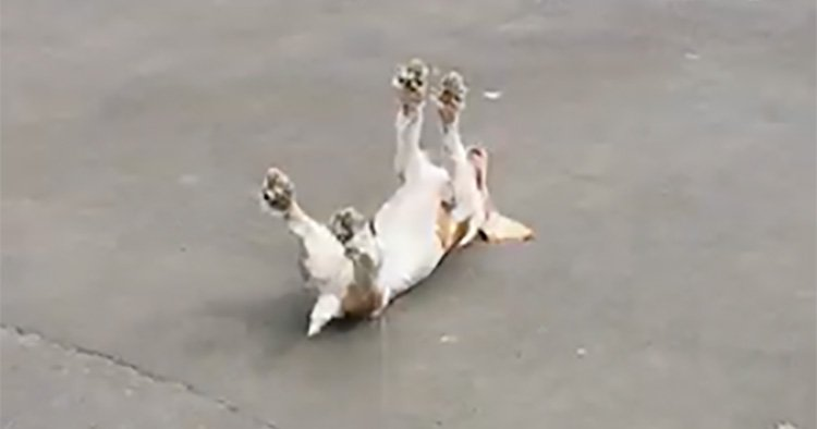 GRABS Excitable cocker spaniel with 'fainting goat syndrome'