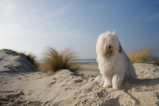 Old English Sheepdog sitting on beach.