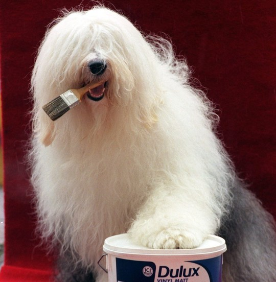 Thomas practicing for his new role as the Dulux dog in London this afternoon (Tuesday). The old English Sheepdog, from Prince Risborough, Buckinghamshire, won the oppourtunity to star in the paint adverts after beating 150 other hopefuls in regional competitions. Phtoo by Stefan Rousseau/PA.
