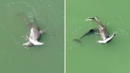 The grieving mother dolphin could be seen trying to keep her dead calf above water as she swam along the intracoastal waterway in Indian Shores, Florida