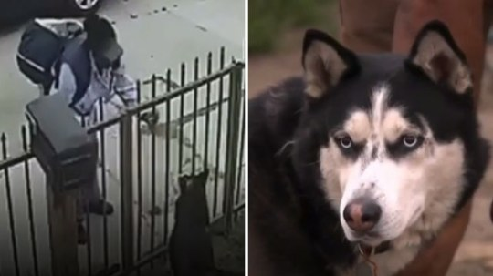 The moment the postal worker sprayed mace in Coco's face.  The Siberian husky was in pain when his owner came home, but has since recovered from his ordeal