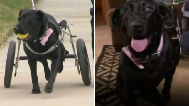 Maggie the black labrador has overcome her own disability - with the help of a special wheelchair - and is now working for a charity that helps disabled children