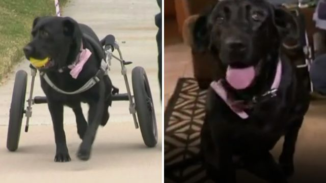 Maggie a black labrador has overcome her possess inability - with a assistance of a special wheelchair - and is now operative for a gift that helps infirm children