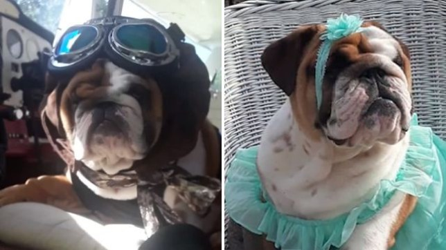 Katie the dying English bulldog puppy has ridden on a plane and dressed in a variety of fancy outfits to complete her bucket list