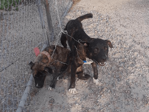 Terrified puppy yelps with pain after being tied to fence with razor sharp wire