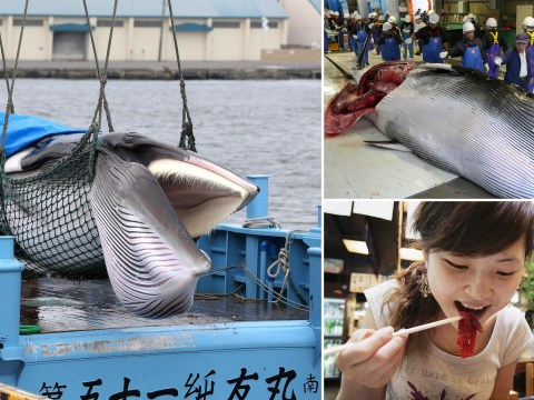 Why is whaling so important to Japan?