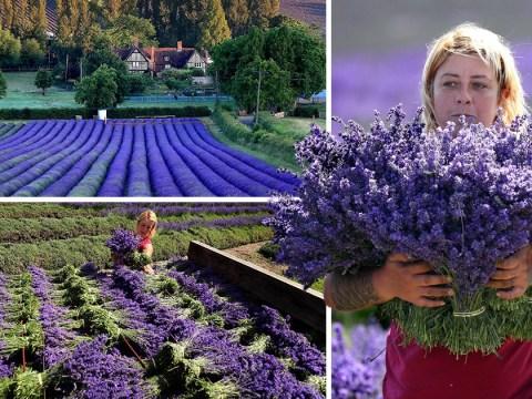 Farmers begin first lavender harvest as UK sunshine soars to 26°C