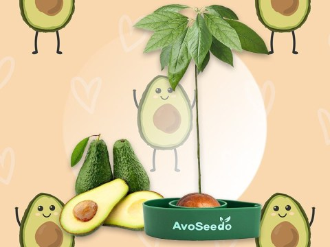You can grow your own avocado tree for £11