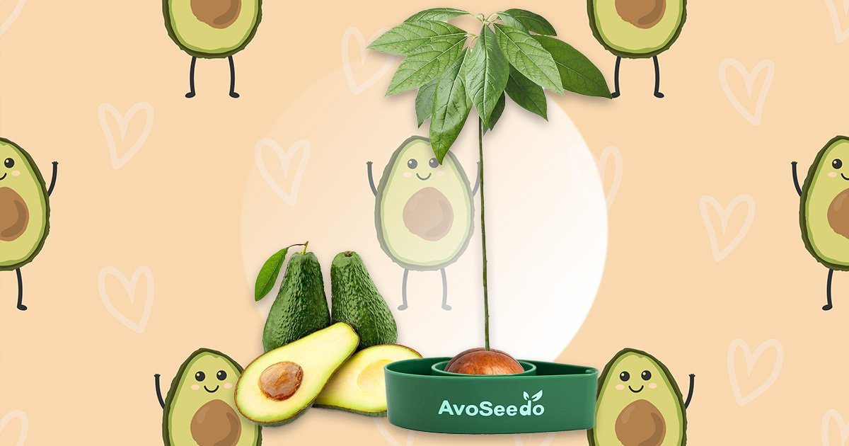 avoseedo is a new apparatus we can use to grow avocados during home