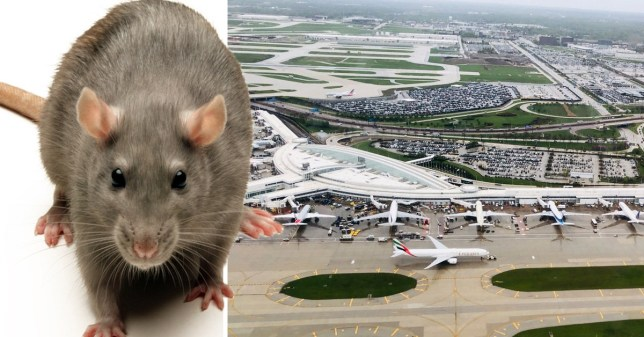A passenger who arrived at Chicago's O'Hare airport was stopped from bringing 32lbs of rat meat into the US