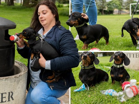 These sausage dogs have been trained to pick up litter on their walks
