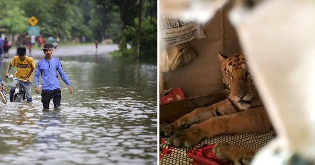 The tiger escaped the monsoon flooding by taking a nap on someone's bed