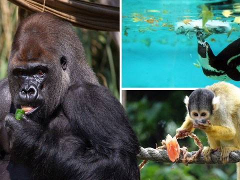 The animals of London Zoo cool off with frozen pea-bobbing and fruit tea