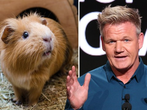 Gordon Ramsay thinks guinea pig is 'delicious' but can't serve it in restaurants