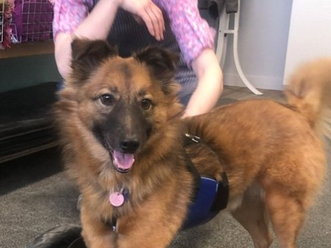 Dog who had his front legs chopped off for digging a hole is training as a therapy dog for amputees