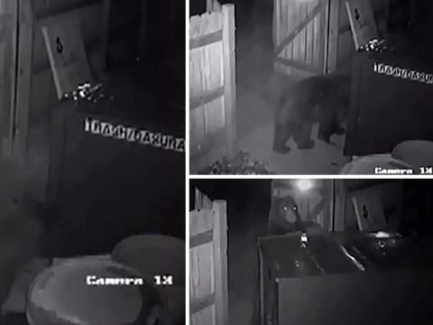 Hungry bear steals cannabis shop's entire wheelie bin