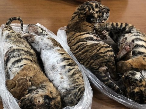 Seven dead tiger cubs found frozen in back of car 'were being smuggled'