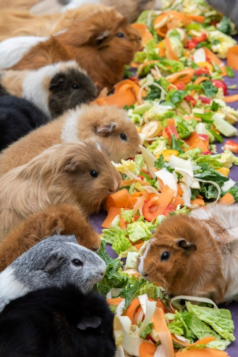 Couple have 52 guinea pigs after initially buying six