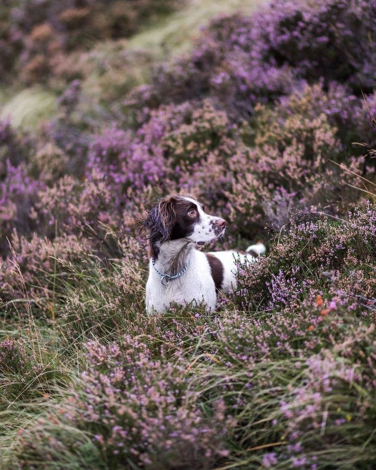 "Picture supplied by Katie Behan/Kennel Club/Bav Media 07976 880732. The picture is called Among Hills and Heather and shows English Springer Spaniel Belle. It was taken by Katie Behan from the UK and came second in the Dogs at Work section. A stunning picture of a dog surrounded by magnolia has come top in the annual Dog Photographer of the Year contest. The photo of rescue dog Merlin was chosen as the overall winner in The Kennel Club's international competition, which received almost 7,000 entries from more than 70 countries. Denise Czichocki, from Switzerland, who took the photo of her 14-year-old Podengo, said: ""I am really proud and overwhelmed, I still can't believe it! There are so many good photographers out there and I won this title, it is absolutely amazing. ""I have always loved to take pictures of everything, and my passion for dog photography started when I had my own, I wanted to create lovely memories of all of them. Over the years I have developed my photography to become more emotional."" The contest had 10 categories: Portrait, Man's Best Friend, Dogs At Play, Dogs At Work, Puppy, Oldies, I Love Dogs Because - for entrants aged between 12 and 17 years old - Young Pup Photographer - for entrants aged 11 and under - and Assistance Dogs and Rescue Dogs. SEE COPY CATCHLINE Winners of Dog Photo of Year comp"