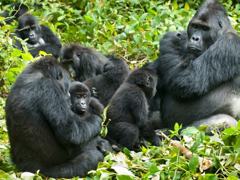 Gorillas have a more complex social structure than we originally thought