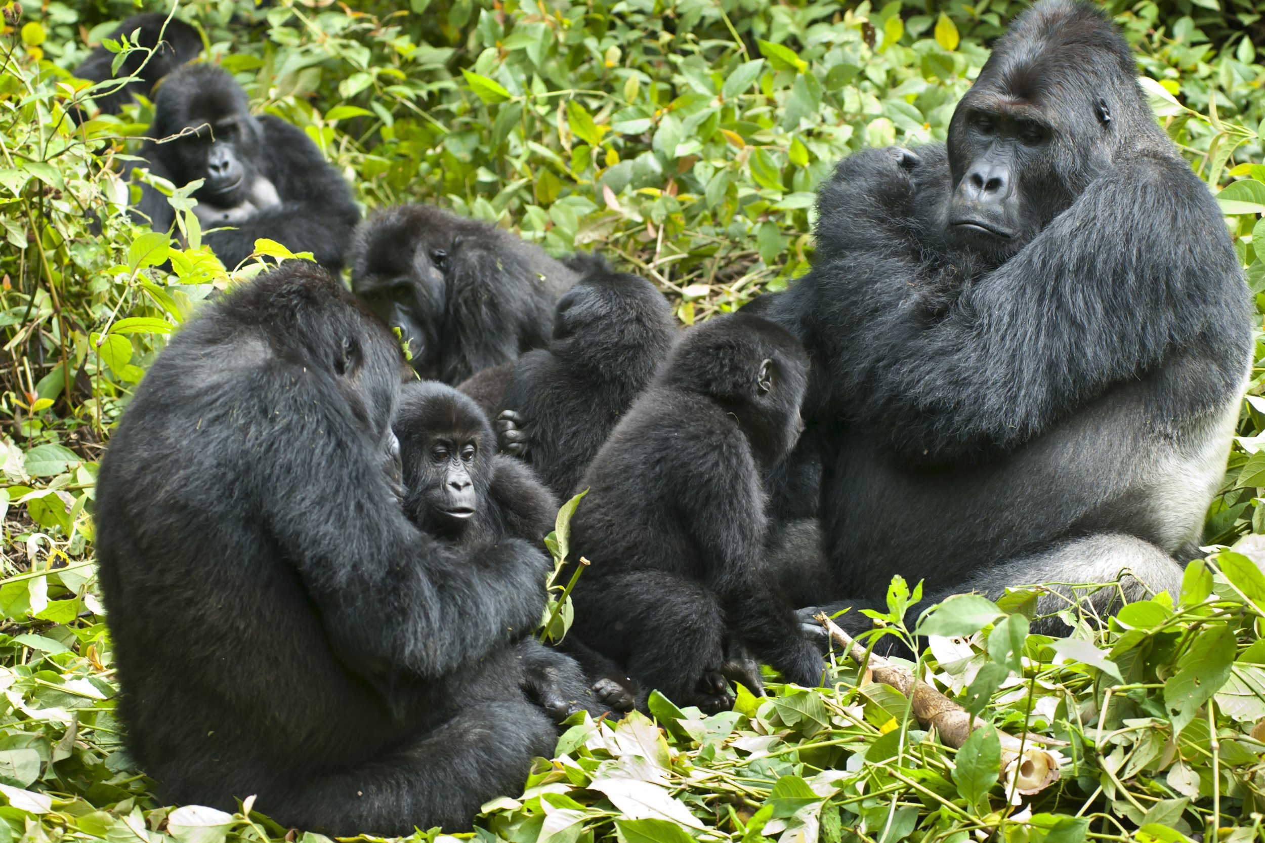 Gorillas live in tiny family units (Getty)