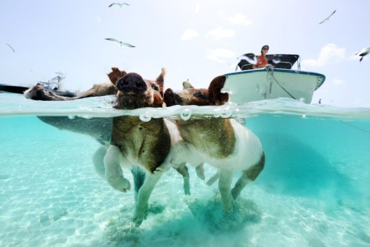 Love Island's Amber is right, there are swimming pigs in the