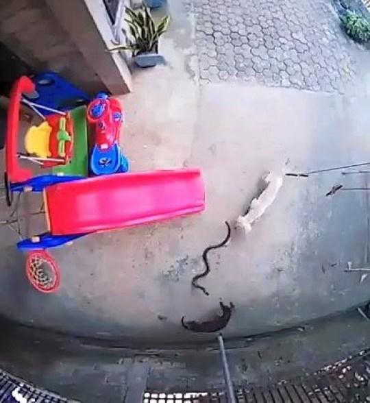 Pertarungan dua anjing mengusir ular kobra yang masuk ke pekarangan rumah tuannya