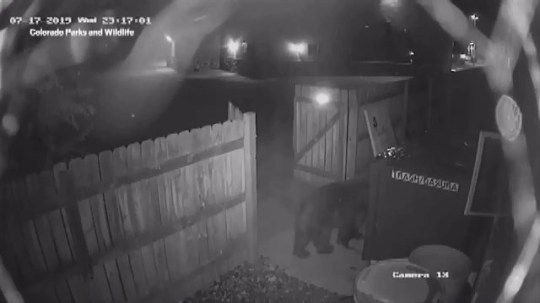 A bear sniffing at a dumpster