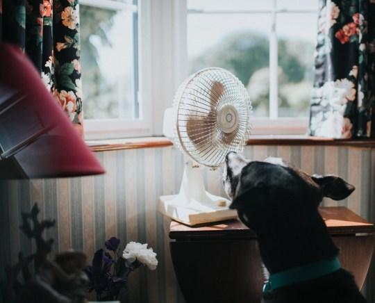 Black dog looking at a desk fan, enjoying the breeze.