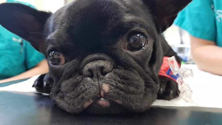 "Undated handout photo issued by the Royal Society for the Prevention of Cruelty to Animals (RSPCA) of French bulldog puppy, Dory (post op) which had to undergo life-saving surgery after being left gasping for breath due to her flat face. PRESS ASSOCIATION Photo. Issue date: Friday July 26, 2019. Dory has brachycephalic obstructive airway syndrome (BOAS). French bulldogs are brachycephalic - or flat-faced - breeds that have been bred to have exaggerated features to make them ""cuter"" to buyers, the RSPCA said. See PA story ANIMALS Dog. Photo credit should read: /PA Wire NOTE TO EDITORS: This handout photo may only be used in for editorial reporting purposes for the contemporaneous illustration of events, things or the people in the image or facts mentioned in the caption. Reuse of the picture may require further permission from the copyright holder."