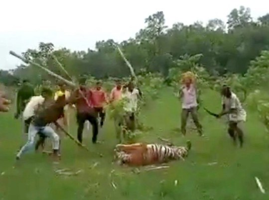 Revenge mob beats tiger to death with sticks