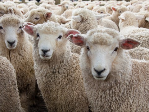 Dad calls 999 thinking his kids will be eaten by sheep in revenge for lamb dinner