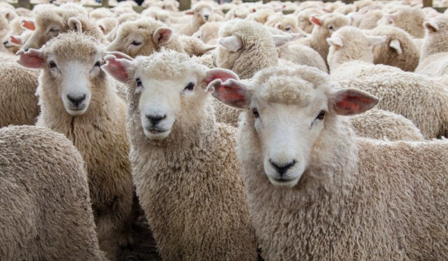 A man called 999 because he feared sheep were trying to eat his kids in revenge for giving them lamb for dinner