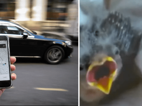 Injured baby bird pulls up at rescue center in its own private Uber
