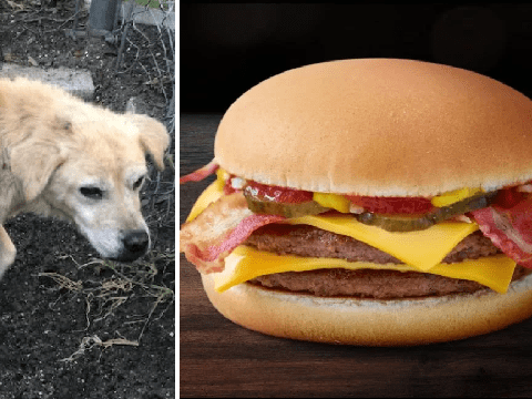 Abused Labrador got to spend her final days eating cheeseburgers and ice cream before being put down