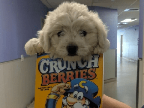 Gorgeous puppy dumped at animal shelter inside cereal box