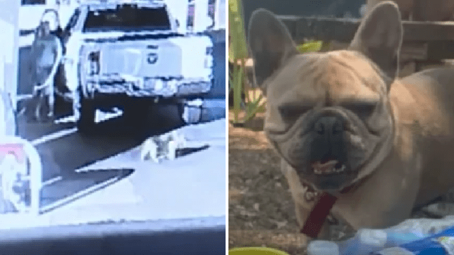 Louie the Frenchie was filmed walking away with a man who patted him on the head