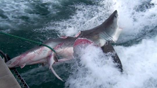 Sharkfest Cannibal sharks