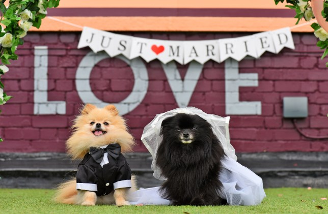 Two dogs, one dressed in a suit and the other wearing a veil, sitting in front of a 'Just Married' sign